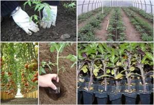 kogda-vysazhivat-pomidory-v-teplicu-iz-1.jpg