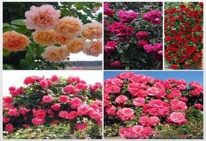Вьющаяся Роза1
